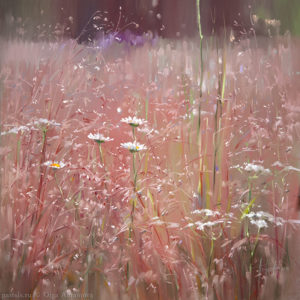 Kenozero. Pink meadow 65×65. 2014